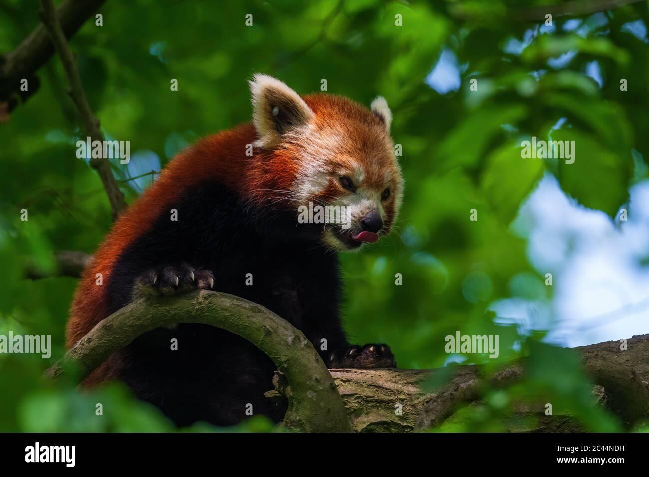 Panda rouge - Ailurus fulgens, populaire petit panda de forêts et de terres boisées asiatiques, Chine. Banque D'Images