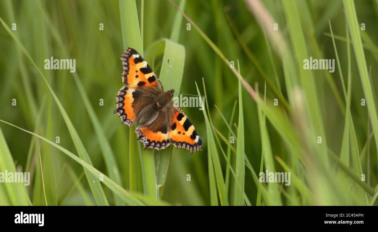 Petit papillon écaille Banque D'Images