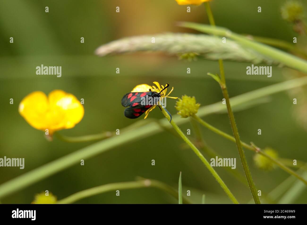 Cinnabar Moth Banque D'Images
