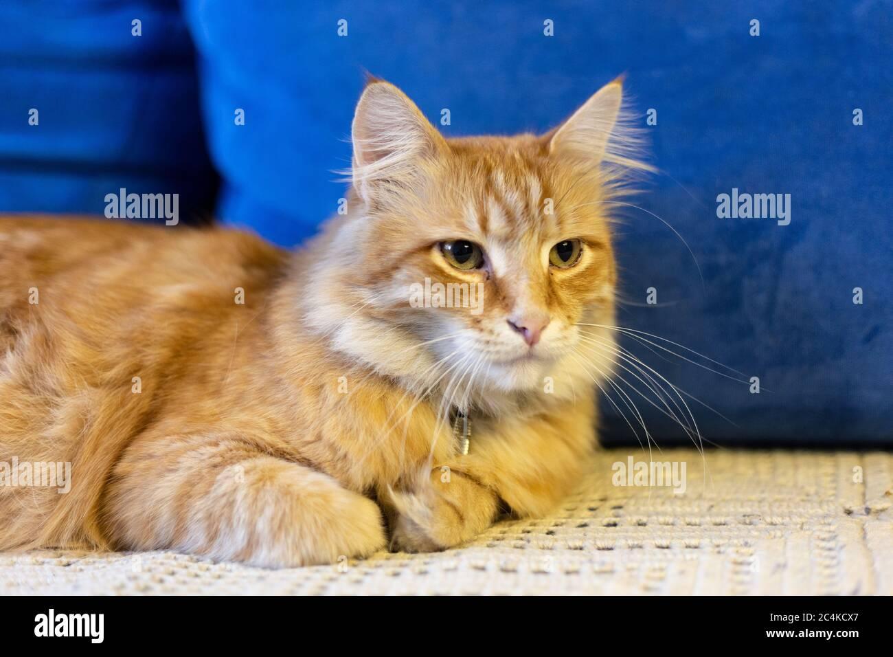 Le chat rouge se trouve sur un canapé bleu Banque D'Images