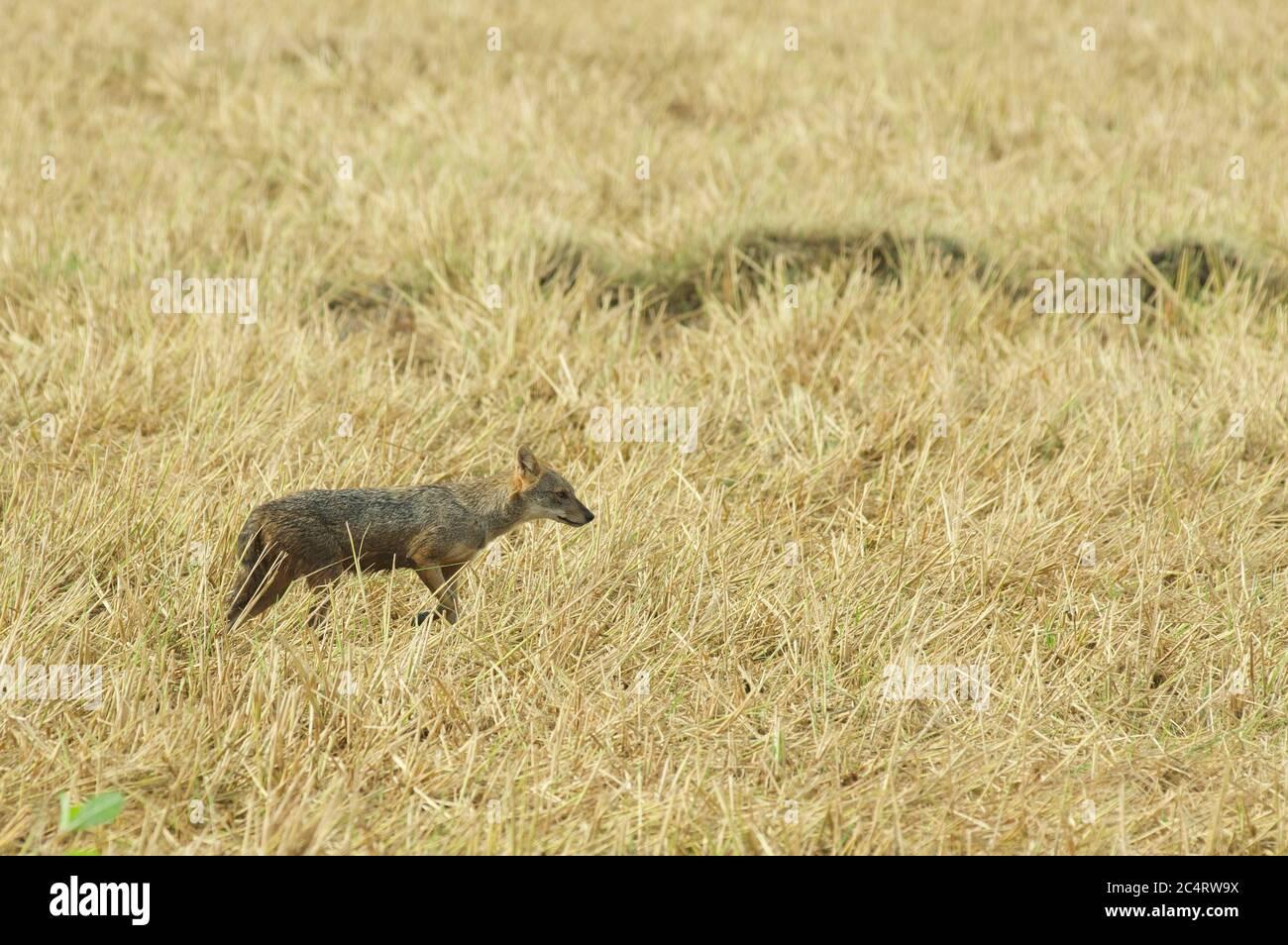 Un sri lankais Jackal (Canis aureus naria) chasse dans un champ d'herbe sèche près du parc national de Yala, Sri Lanka Banque D'Images