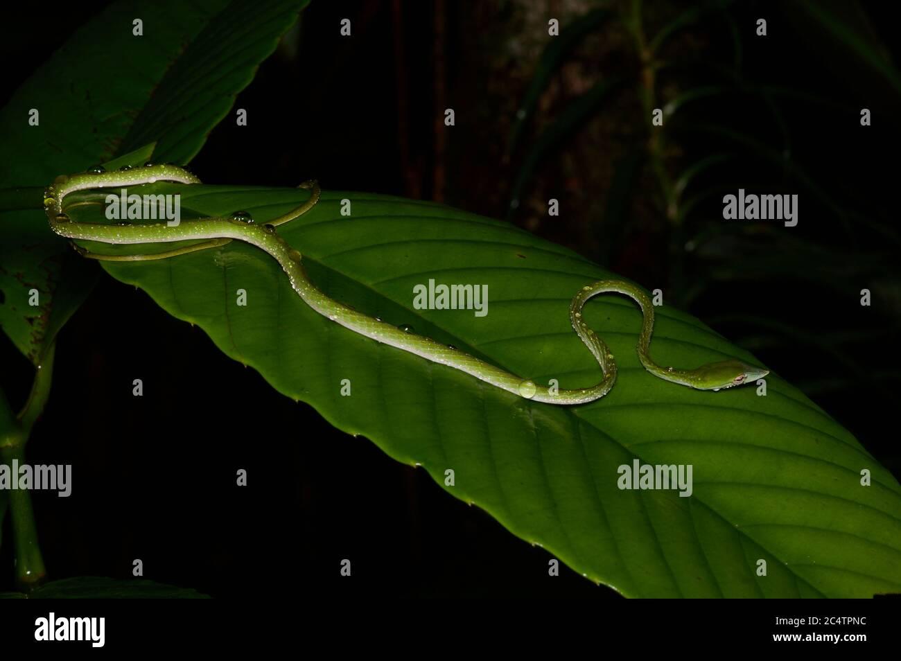 Un jeune serpent à long nez (Ahaetulla nasuta) buvant d'une feuille humide la nuit dans la forêt tropicale des basses terres de Kalutara, Sri Lanka Banque D'Images