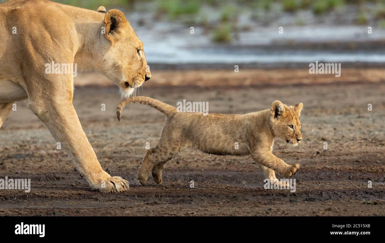 La lionne et son lion-cub marchent dans le lit de rivière boueux de Ndutu en Tanzanie Banque D'Images
