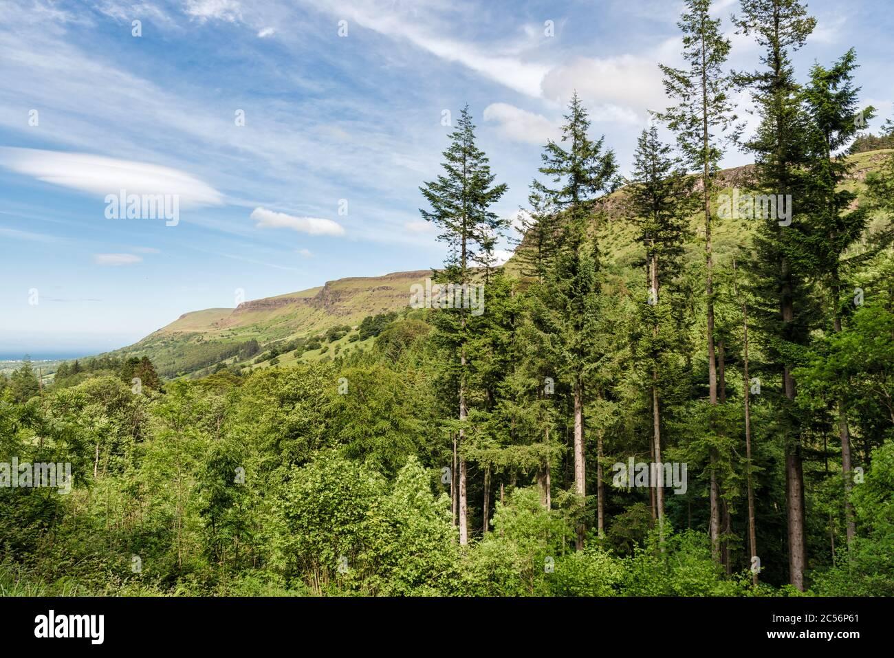 Pins dans le parc forestier de Glenariff, dans le comté d'Antrim, en Irlande du Nord Banque D'Images
