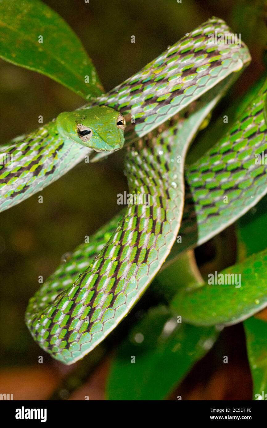 Serpent à vigne verte, serpent à la hanche à long nez, Ahaetulla nasuta, forêt tropicale du parc national de Sinharaja, site du patrimoine mondial, UNESCO, Réserve de biosphère, Sri la Banque D'Images