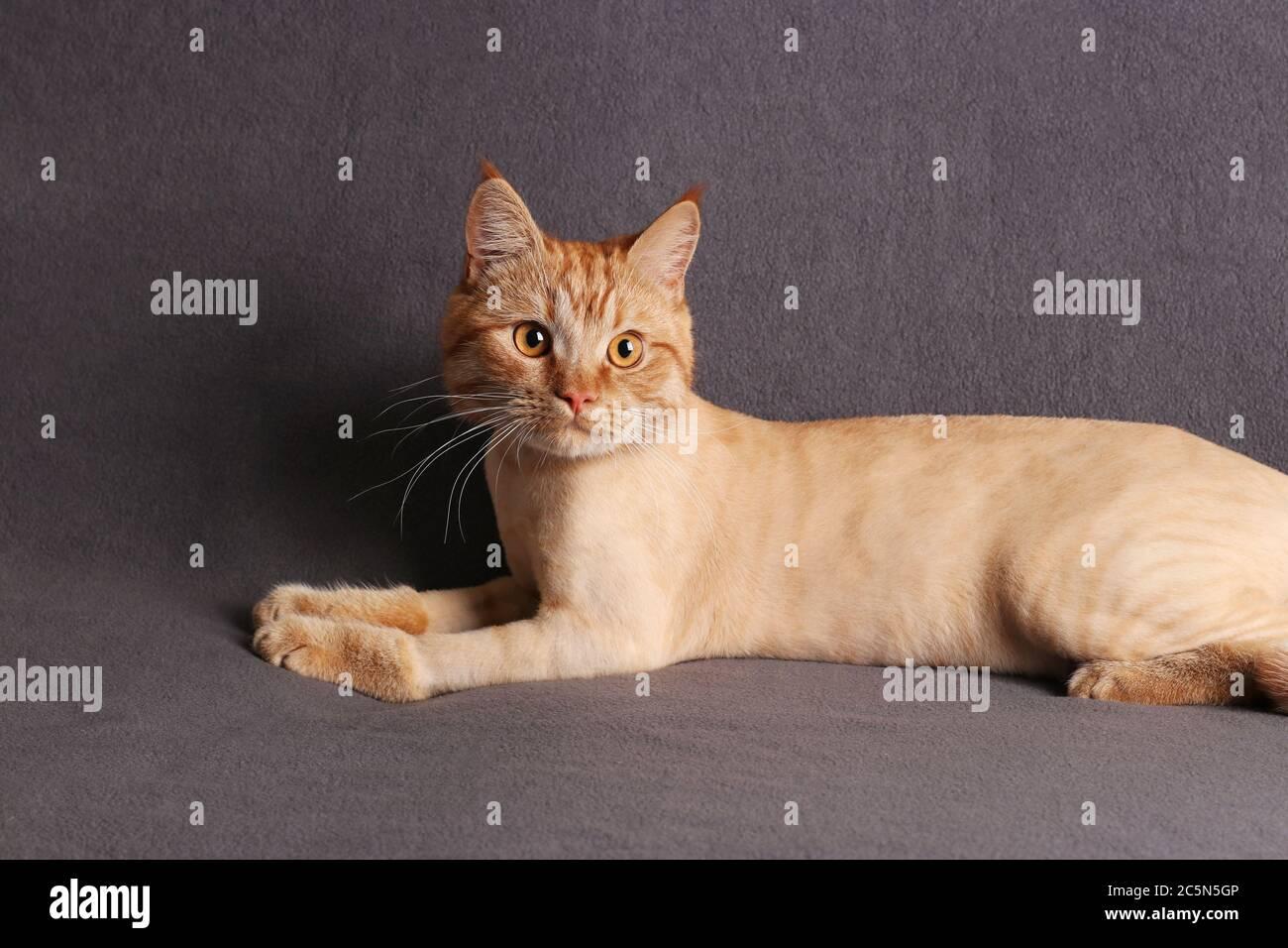 Chat de toilettage, jeune chat au gingembre très tendance sur fond gris Banque D'Images