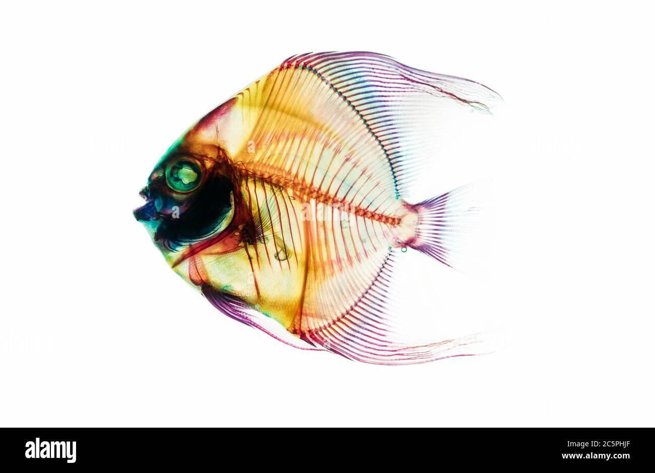 Squelette de poisson préhistorique fossile isolé sur fond blanc. Science et évolution de la vie terrestre recherche de l'image conceptuelle. Banque D'Images