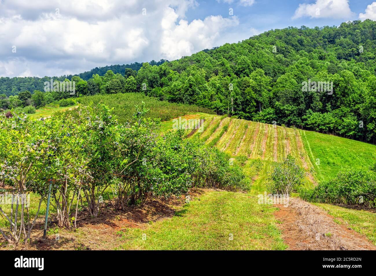 Ferme en Virginie avec des collines vallonnées montagnes en été avec paysage rural idyllique campagne et des rangées de bleuets pour cueillir avec personne Banque D'Images