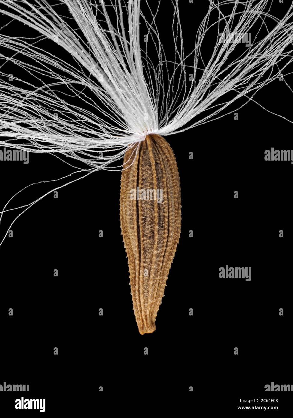 Graine de Lapsana communis, la nipplewort commune Banque D'Images