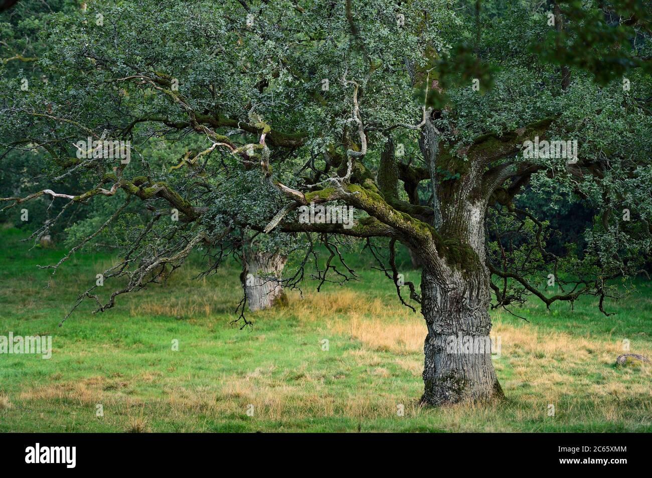 La réserve naturelle de Tunhems Ekhagar est située au pied de Hunneberg, et se compose d'un certain nombre d'anciens chênes. Tunhems Ekhagar, Schweden Banque D'Images