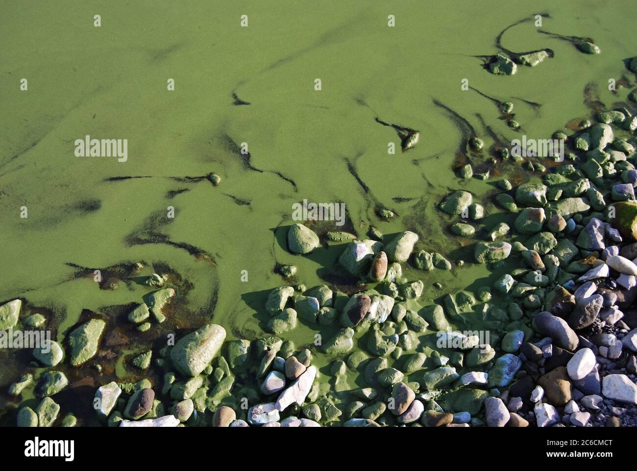 L'algue fleurit dans la rivière Volga dans la région de Volgograd. Russie Banque D'Images