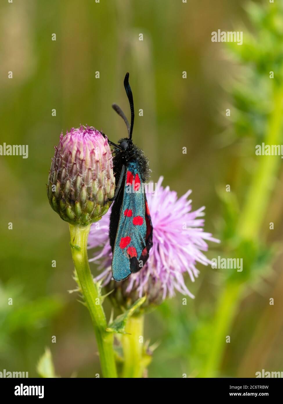Zygaena filipendulae, papillon de six taches de couleur vive, reposant sur Cirsium arvense dans les prairies du Royaume-Uni Banque D'Images
