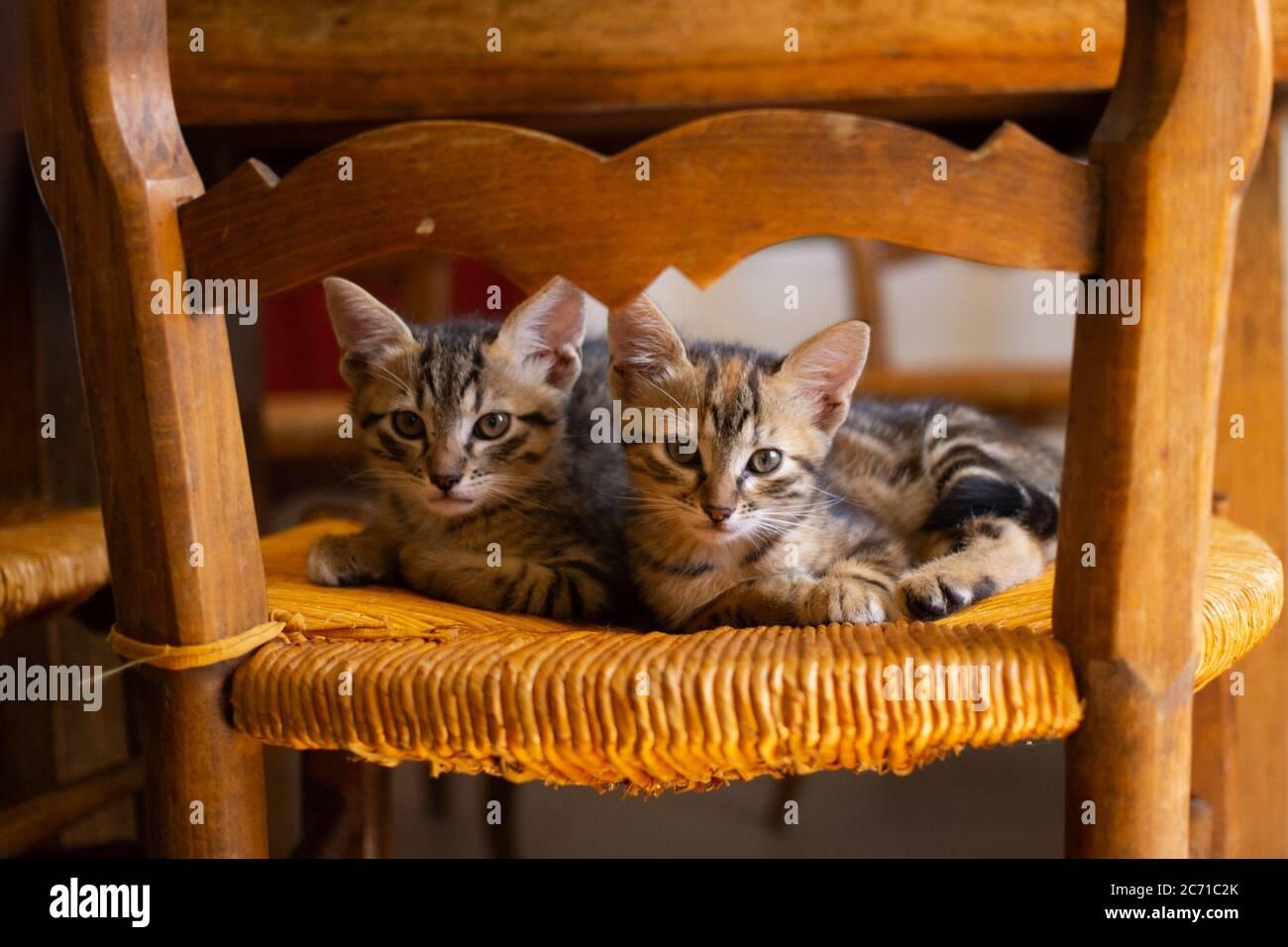 Deux chatons en tabby mignons étaient assis sur une chaise en osier. Banque D'Images