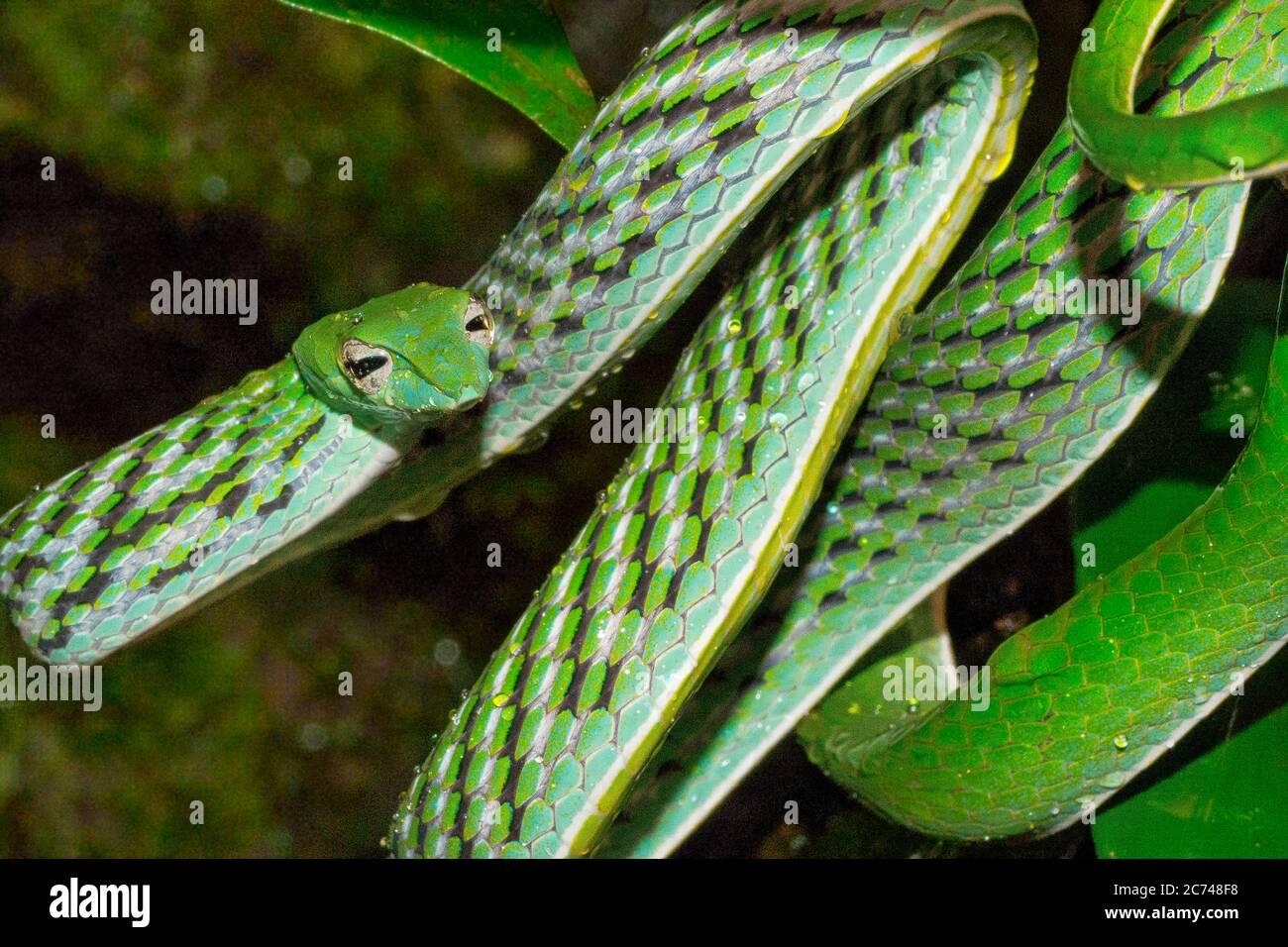Serpent vert à vigne, Ahaetulla nasuta, forêt tropicale du parc national de Sinharaja, site du patrimoine mondial, réserve de biosphère, zone sauvage nationale, Sri Lanka Banque D'Images