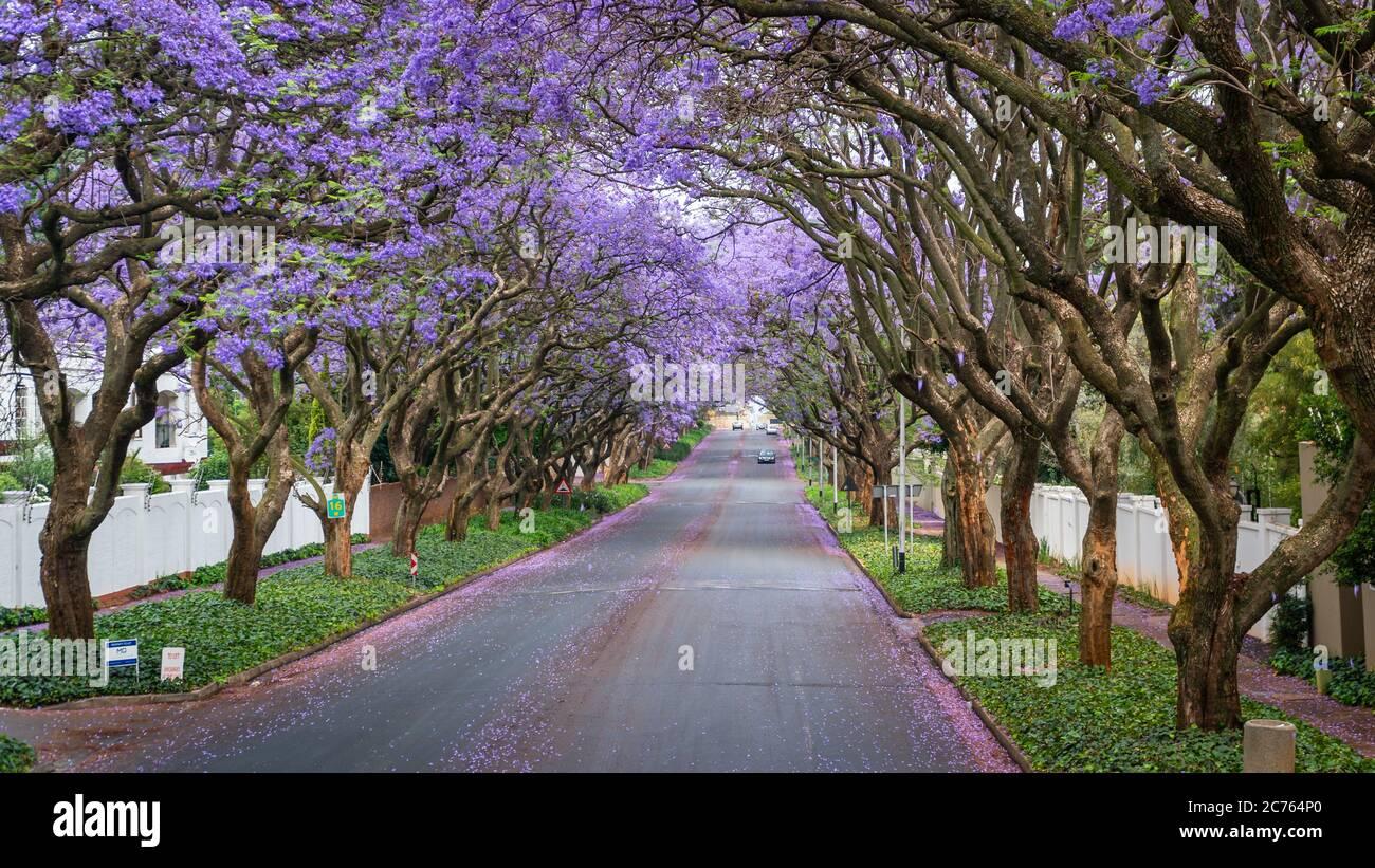 De grands arbres Jacaranda bordent la rue d'une banlieue de Johannesburg dans la lumière du soleil de l'après-midi, Afrique du Sud Banque D'Images