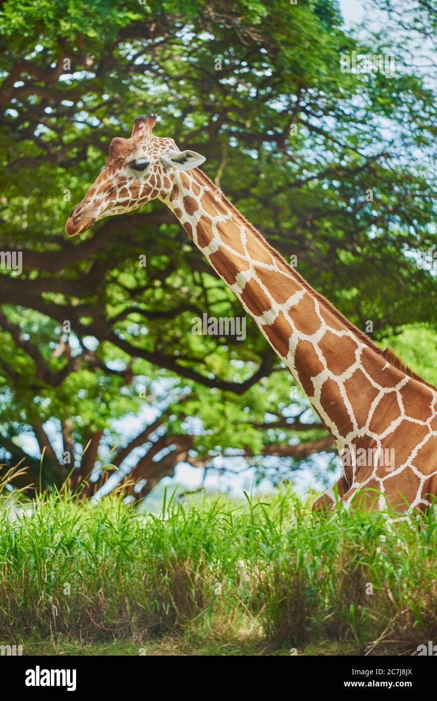 Girafe réticulée (Giraffa camelopardalis reticulata), reposant sur le sol dans la savane, vue latérale, Afrique Banque D'Images