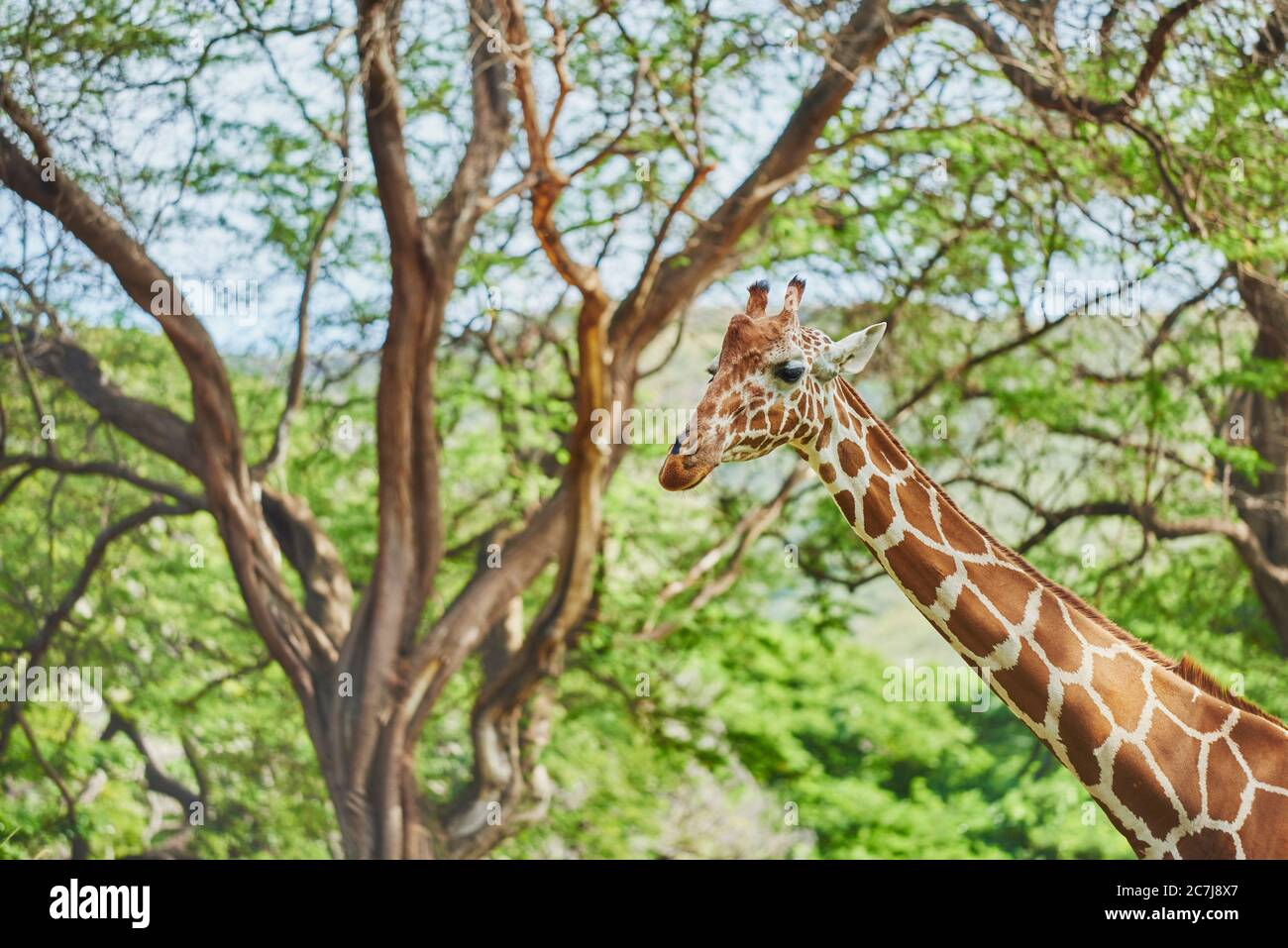 Girafe réticulée (Giraffa camelopardalis reticulata), debout dans la savane, portrait, Afrique Banque D'Images