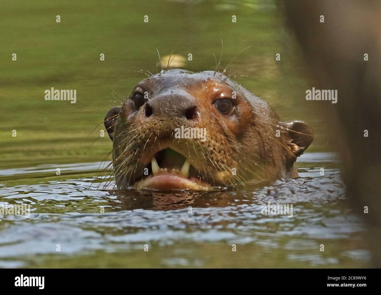 Giant Otter (Pteronura brasiliensis)  close up of adult head in river  Inirida, Colombia        November Banque D'Images