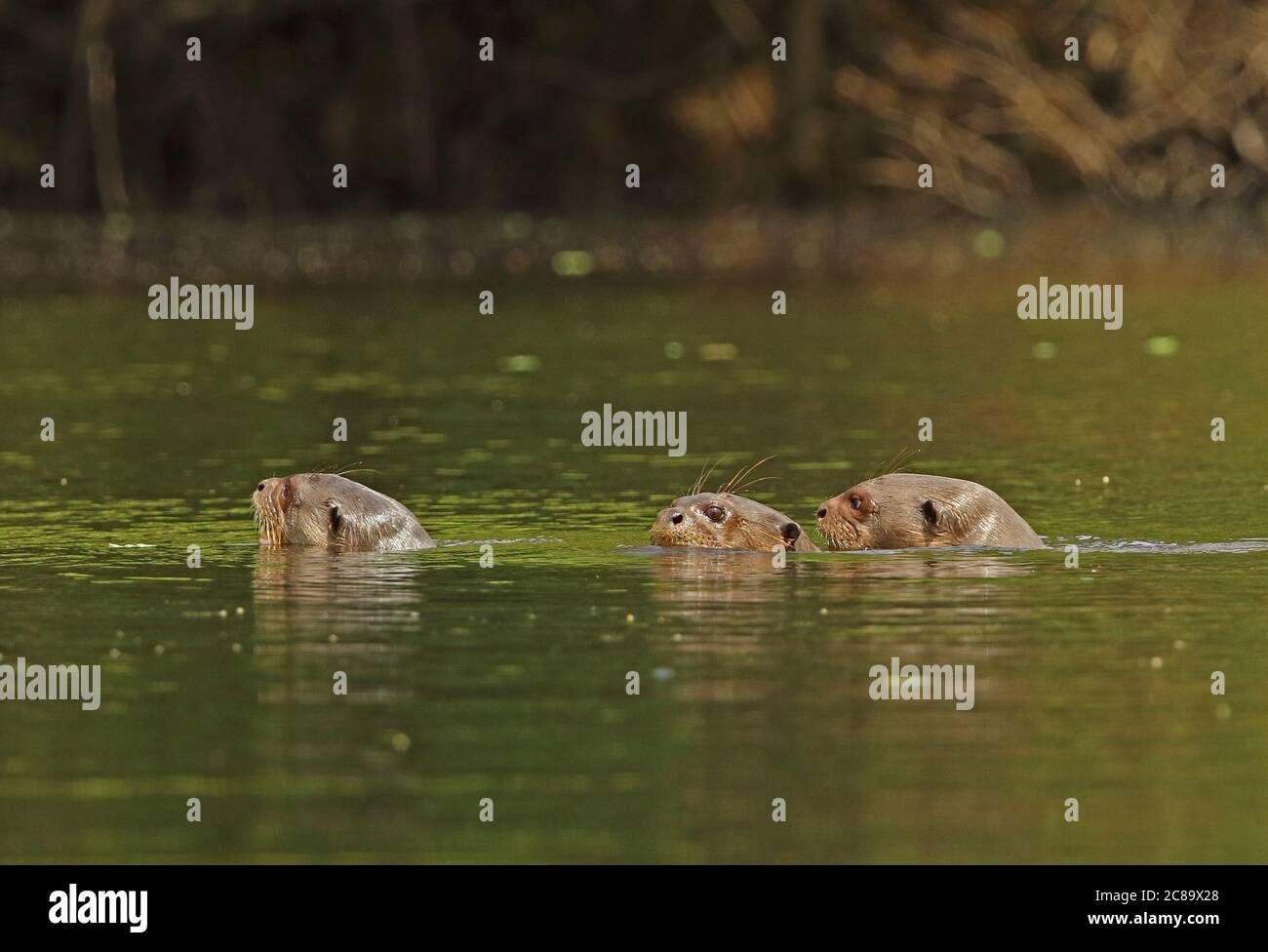 Giant Otter (Pteronura brasiliensis)  three adults swimming in river  Inirida, Colombia        November Banque D'Images