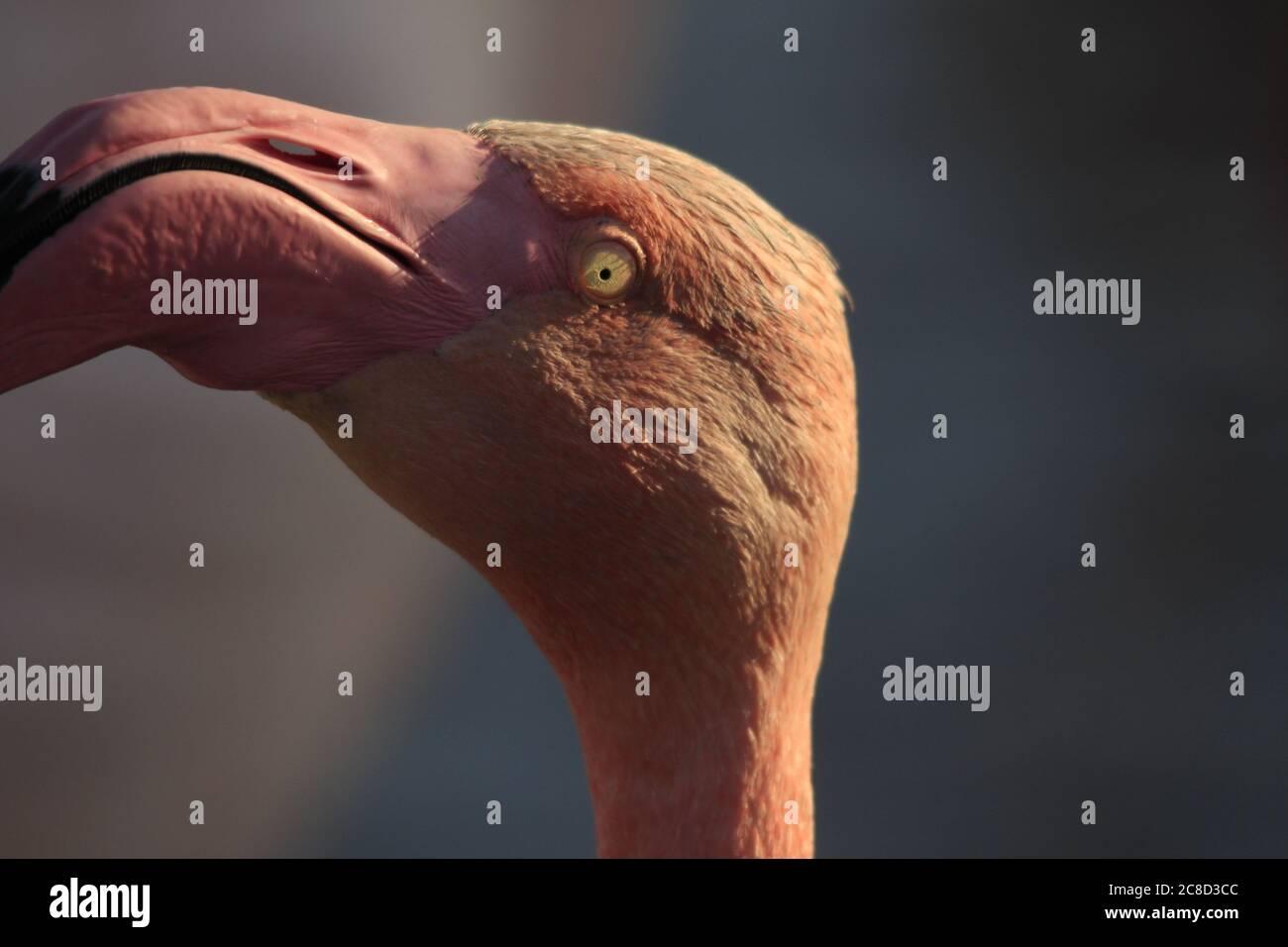 Grand portrait Flamingo Banque D'Images