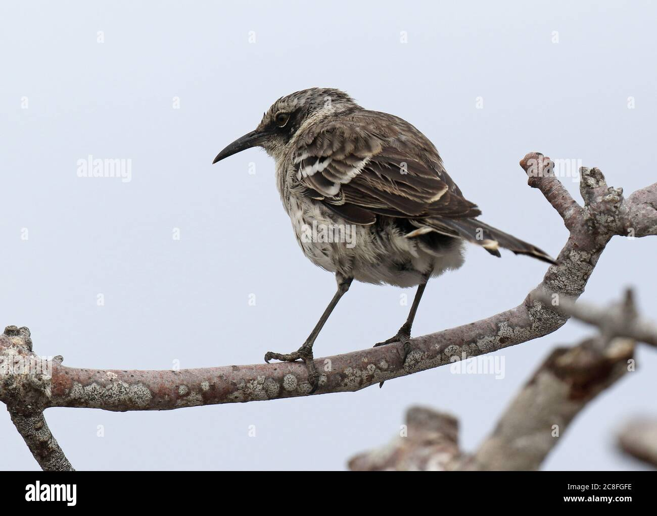 Galapagos mockingbird (Mimus parvulus, Nesomimus parvulus), perché dans un bas arbre, Équateur, îles Galapagos Banque D'Images