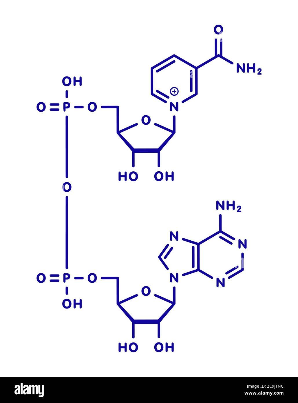 Molécule de coenzyme nicotinamide adénine dinucléotide (NAD+). Coenzyme importante dans de nombreuses réactions de redox. Formule squelette bleu sur fond blanc. Banque D'Images