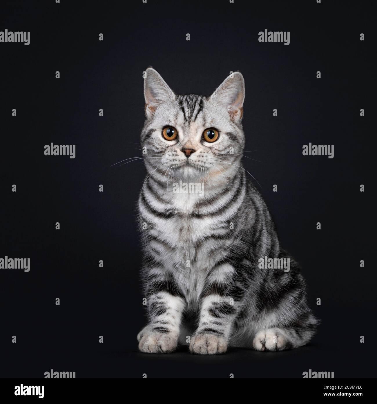 Mignon argent tortie américain Shorthair chat chaton, assis côtés. Regarder à côté de l'appareil photo avec les yeux orange. Isolé sur fond noir. Banque D'Images
