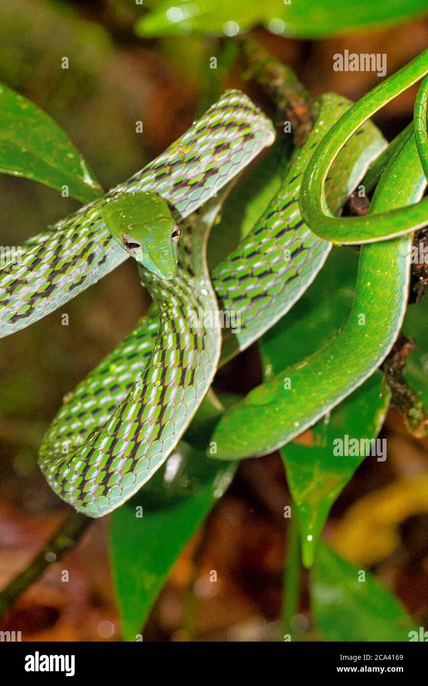 Serpent à vigne verte, serpent whip à long nez, Ahaetulla nasuta, forêt tropicale du parc national de Sinharaja, site du patrimoine mondial, UNESCO, Bioreserve, Sri Lanka Banque D'Images