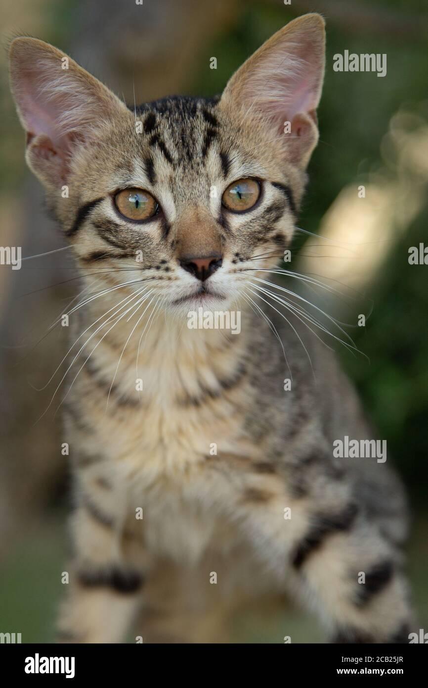 Le jeune adorable chaton Tabby est sorti du cliché. Banque D'Images