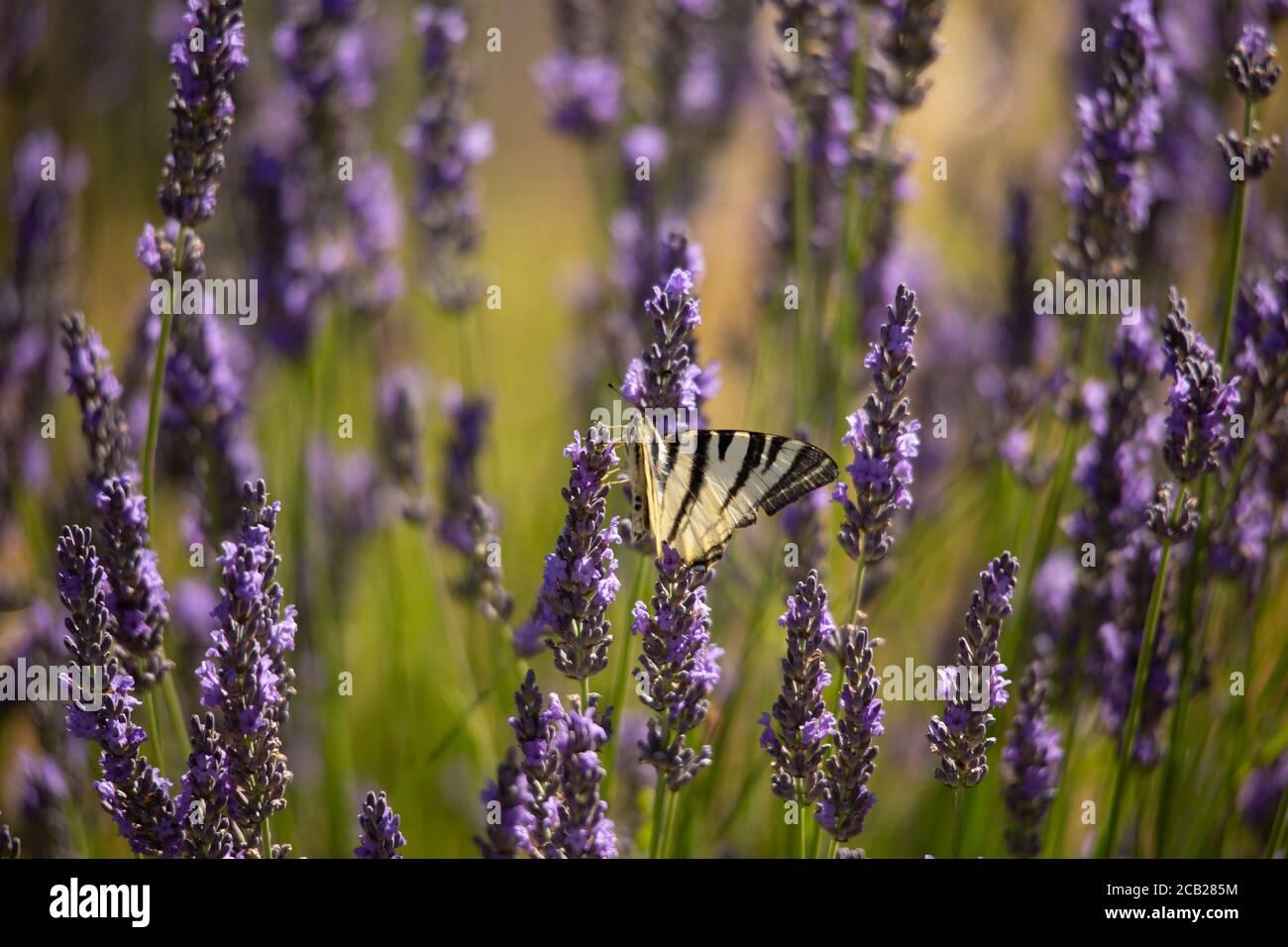 Un papillon à queue d'allowtail sur Lavender en Provence, au sud de la France. Banque D'Images
