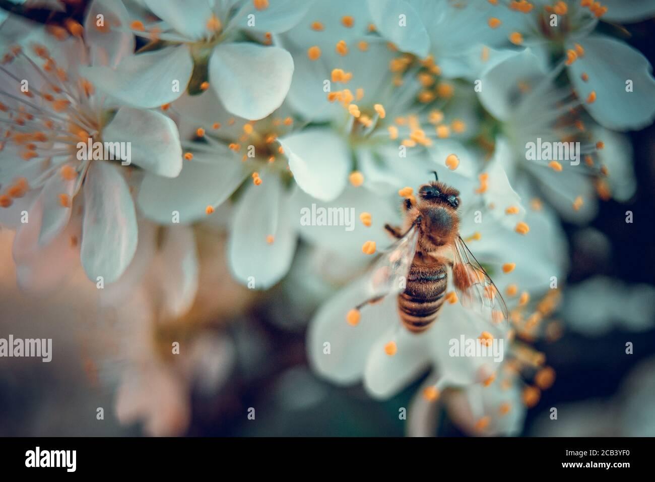L'abeille recueille le pollen des fleurs de prune blanches. Scène printanière en pleine floraison Banque D'Images