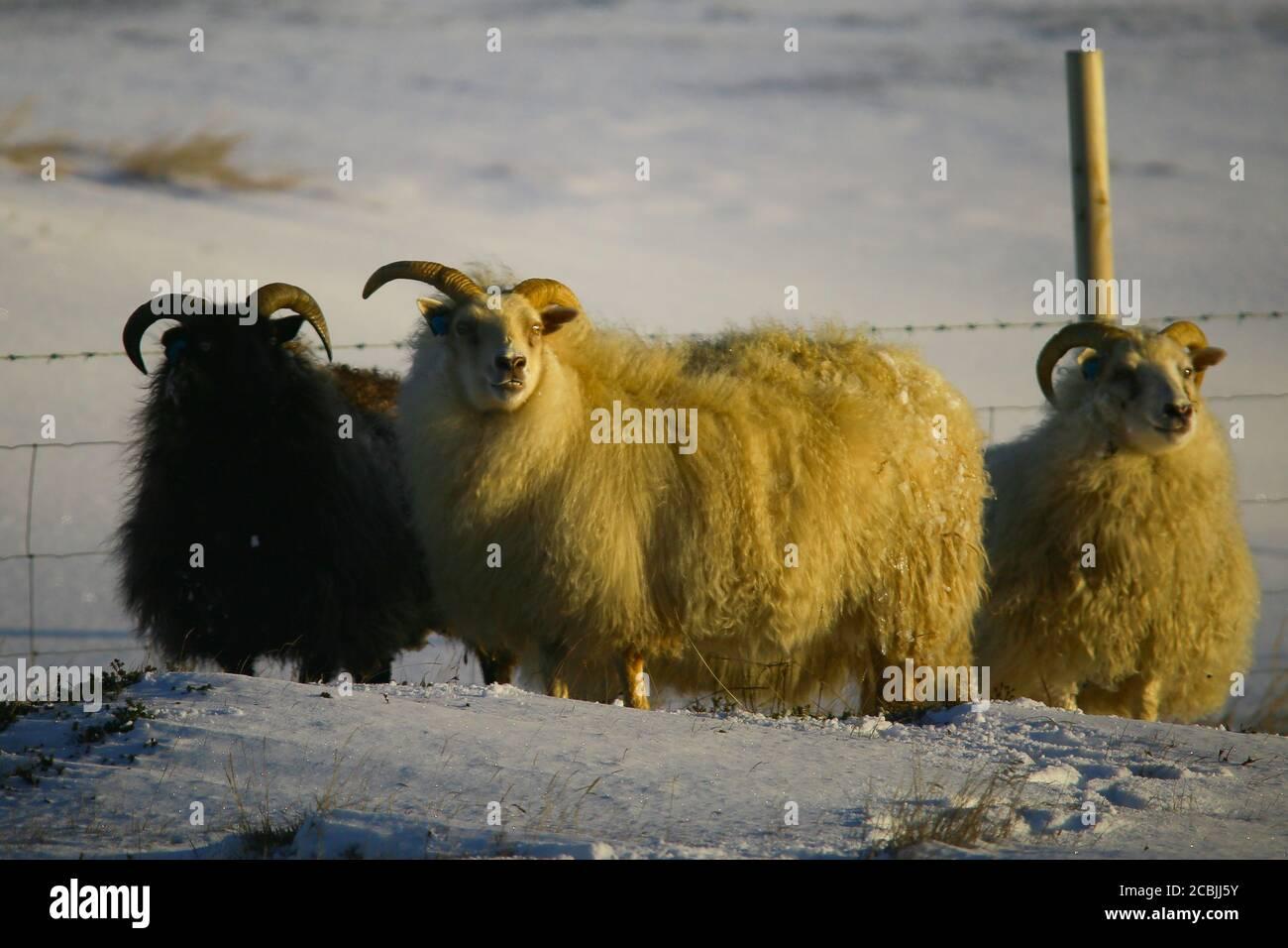 Brebis en Islande, un jour d'hiver Banque D'Images