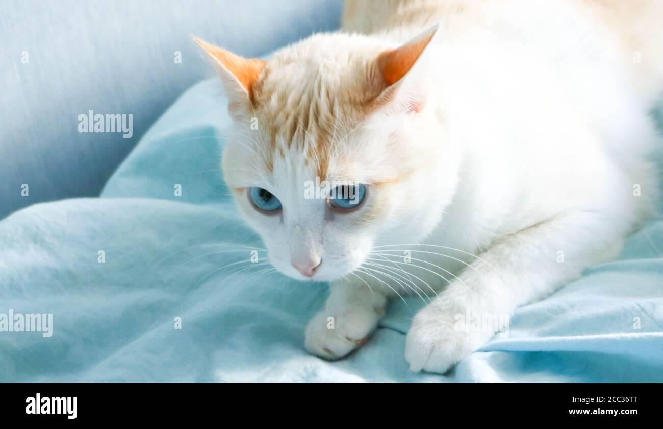 Joli chat bleu allongé sur une couverture bleue. Banque D'Images