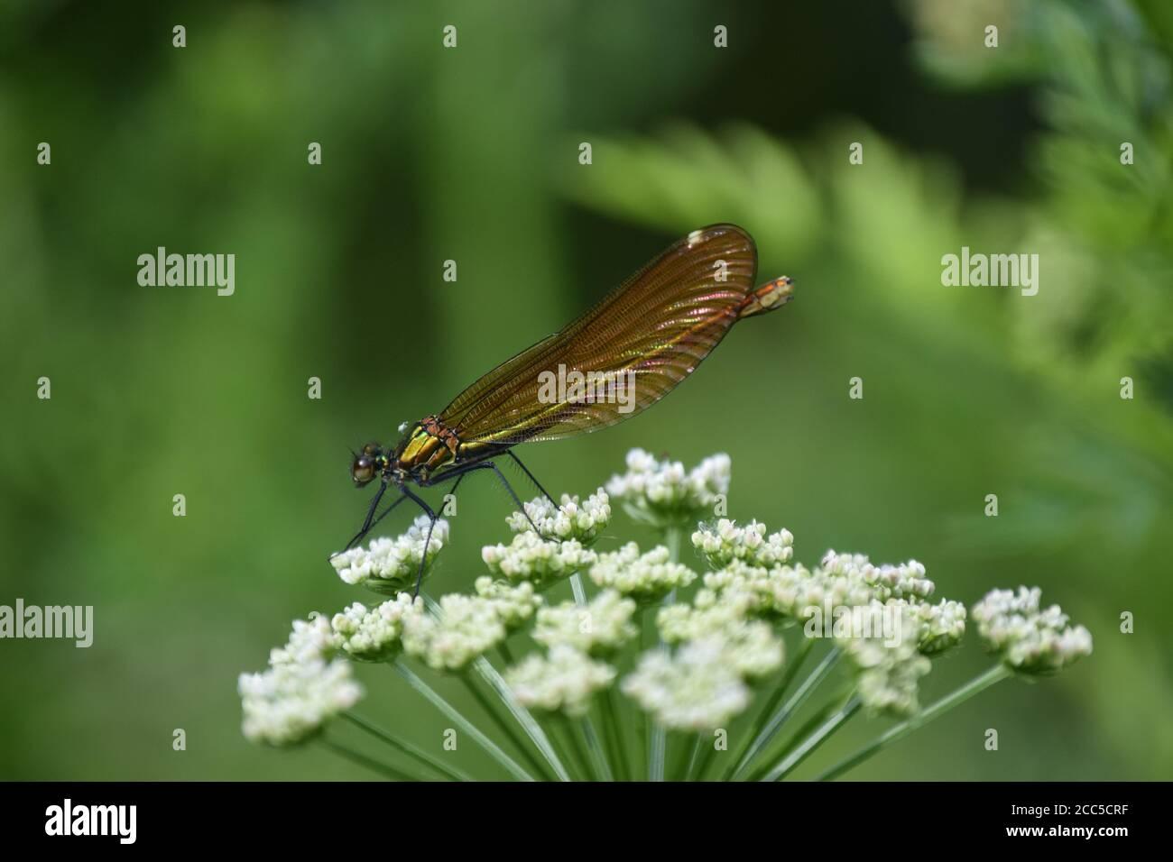 Femelle Demoiselle Agrion en profil Banque D'Images