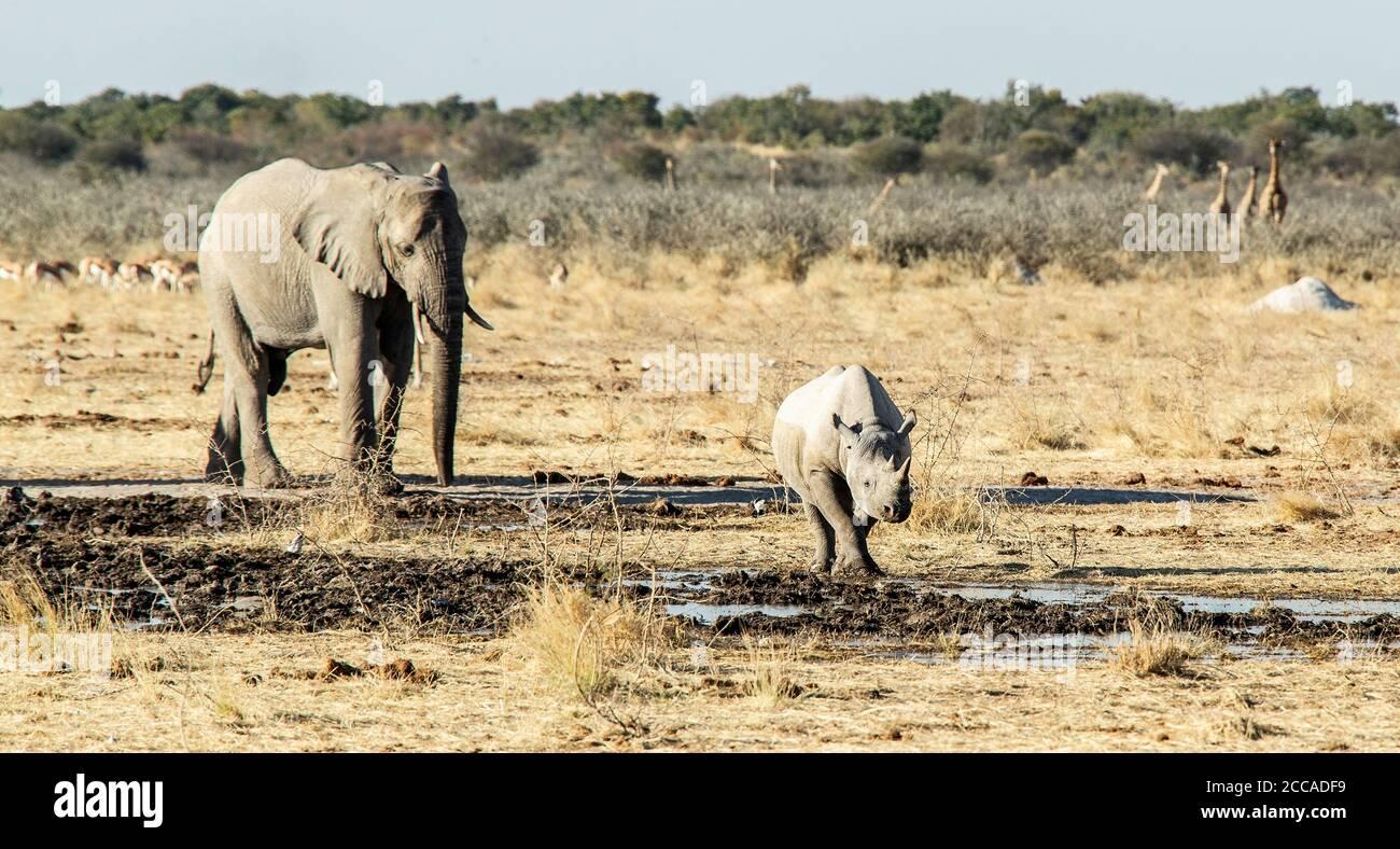Un rhinocéros noir vu par un éléphant impassible dans le parc Etosha, en Namibie Banque D'Images