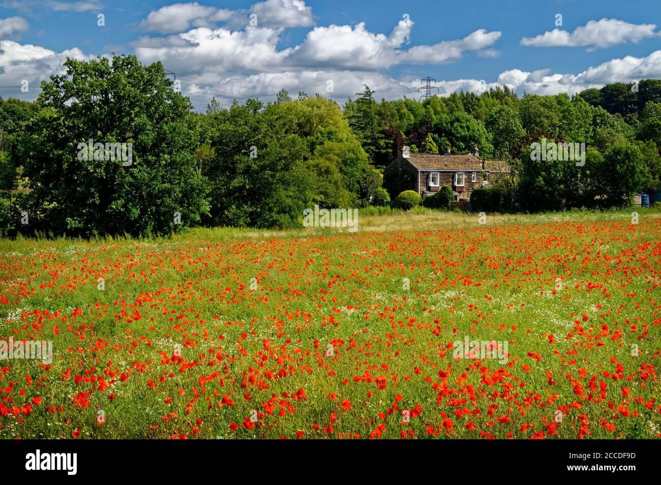Royaume-Uni, Yorkshire de l'Ouest, Wakefield, champ de coquelicots et Chamomile près de Walton Banque D'Images