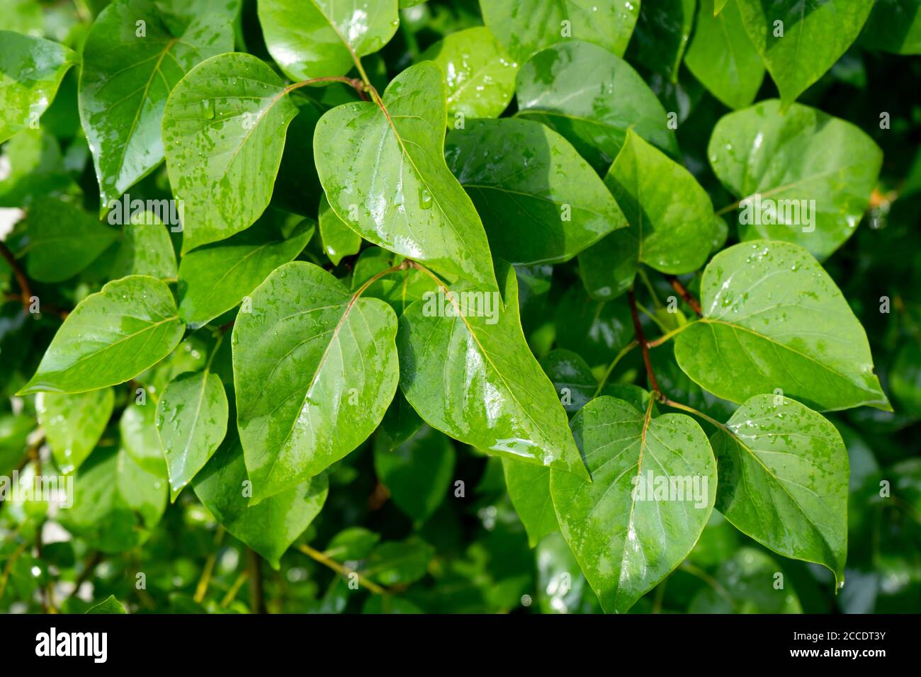 Feuilles vertes humides d'une brousse après la pluie. Gros plan du Bush vert après la pluie Banque D'Images
