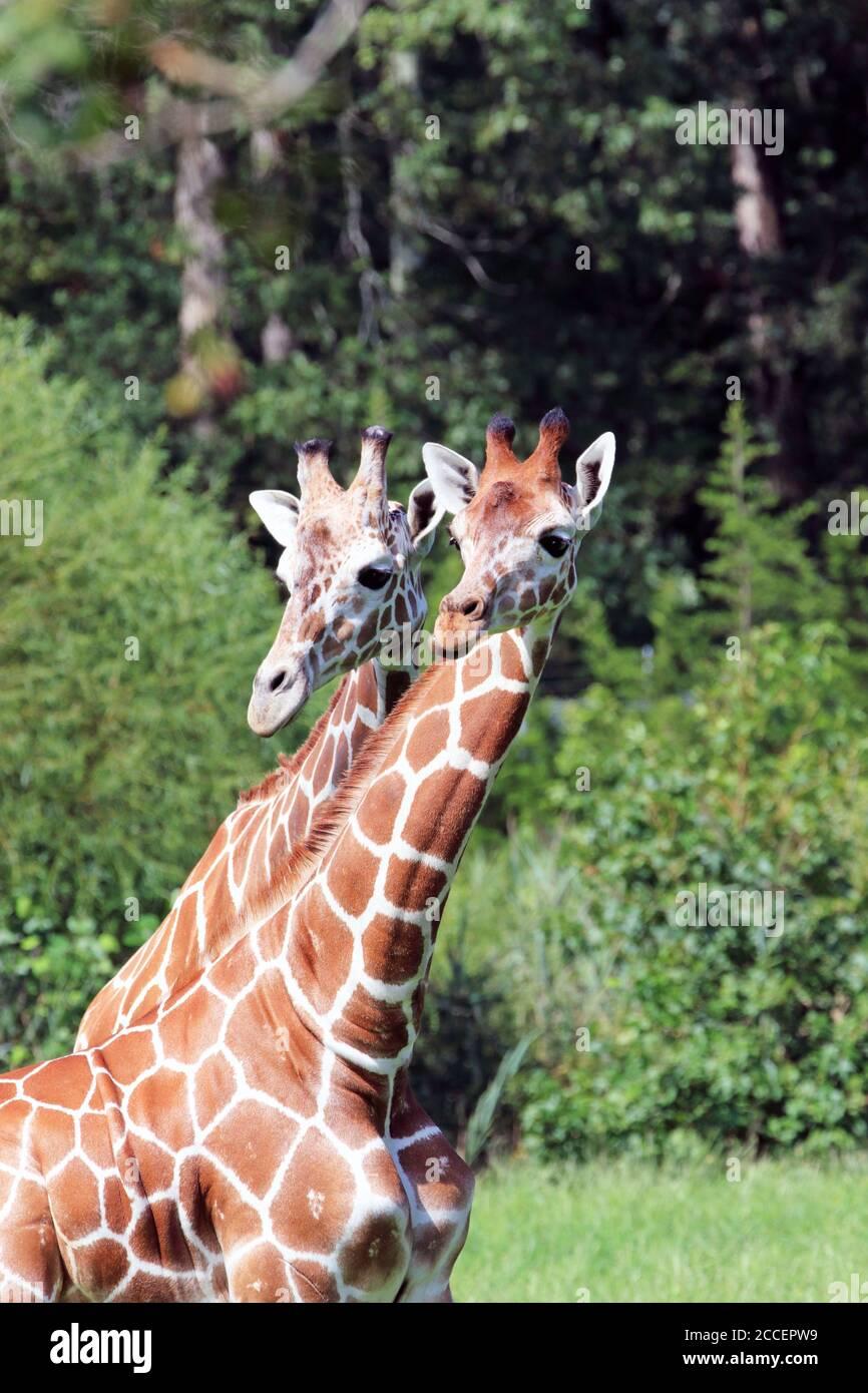 Girafes réticulés, Giraffa camelopardalis reticulata, au zoo du comté de Cape May, palais de justice de Cape May, New Jersey, États-Unis Banque D'Images