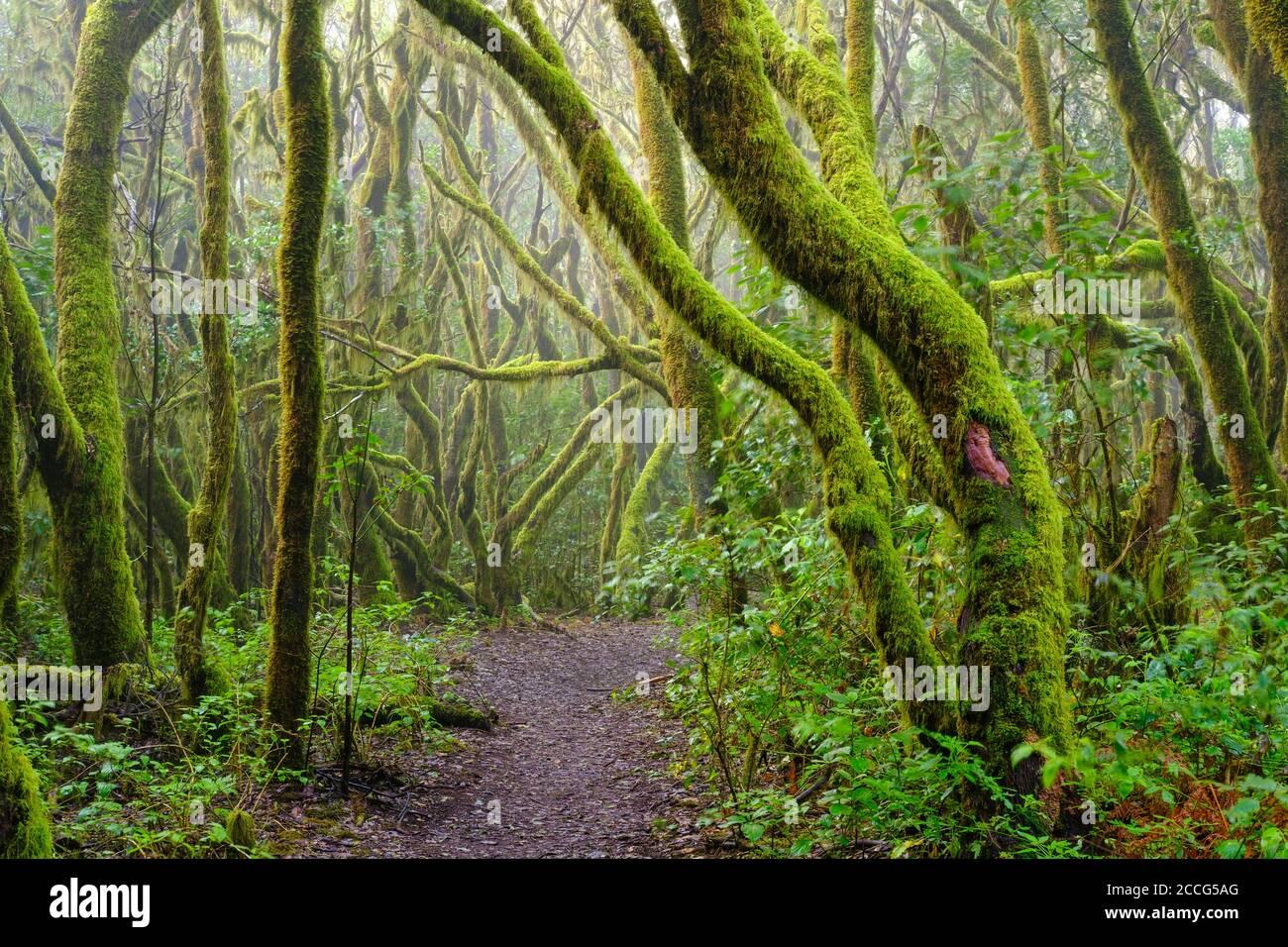 Sentier forestier et arbres de mousses dans la forêt nuageuse, parc national de Garajonay, la Gomera, îles Canaries, Espagne Banque D'Images