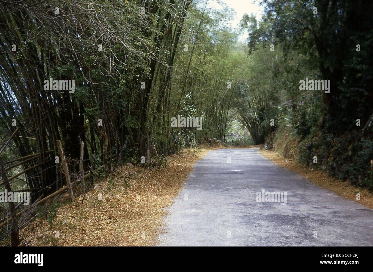 Bambou 'arbres' à côté d'une route de campagne à flanc de colline, Jamaïque, 1970. Bien que le bambou soit techniquement une 'herbe', les plus grands sont très d'apparence d'arbre et peuvent croître en hauteur jusqu'à 40 mètres. Le bambou est un matériau de construction très léger mais est trois fois plus fort que le bois et a une plus grande résistance à la traction que l'acier. Une culture durable, qui prend environ 3 ans pour mûrir, par rapport aux 30-40 ans pour un arbre, c'est une alternative écologique viable au plastique, mais quand cultivé commeriquement a besoin de bien gérer, sinon il devient envahissant. Banque D'Images