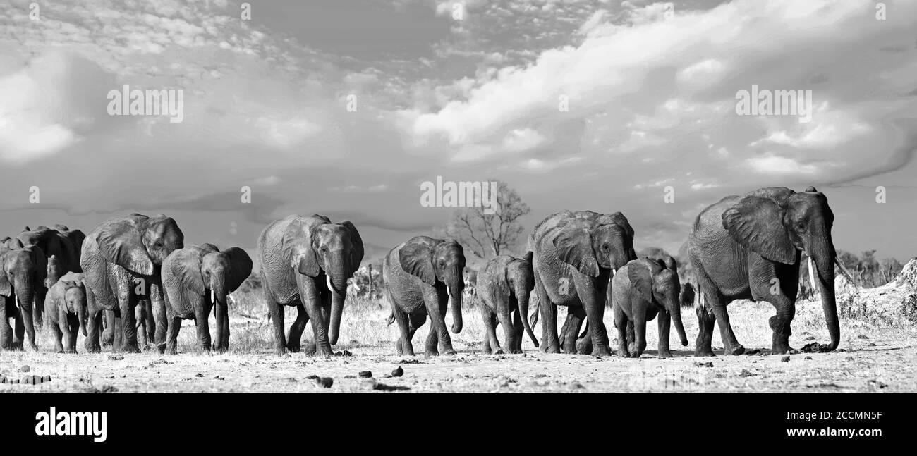 Panorama d'un troupeau familial d'éléphants traversant les plaines africaines baignées de soleil dans le parc national de Hwange, Zimbabwe, Afrique australe Banque D'Images