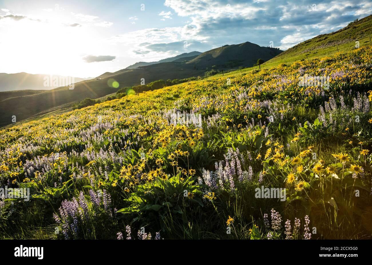 Fleurs sauvages au coucher du soleil sur Lewis Butte près de Winthrop, Washington, États-Unis. Banque D'Images
