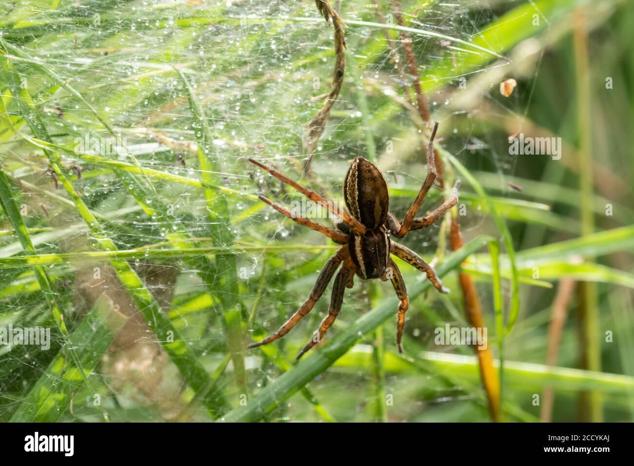 Araignée radeau femelle (Dolomedes fimbriatus) sur une toile ou un nid nursey, au Royaume-Uni, en août Banque D'Images
