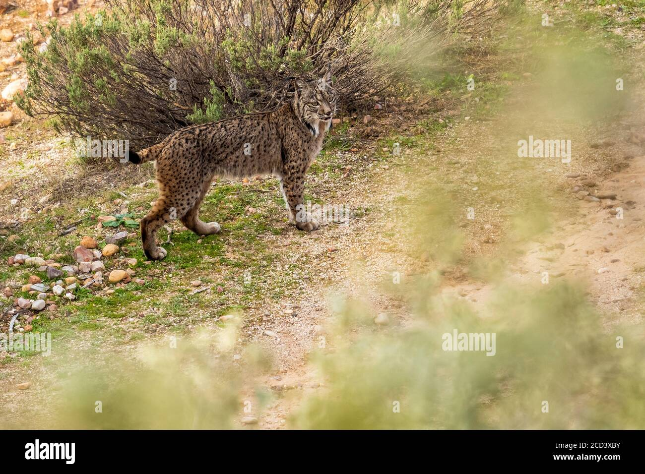 Lynx ibérique mâle (Lynx pardinus) debout sur un rocher regardant la vallée, Sierra Morena, Andujar, Andalousie, Espagne. Banque D'Images