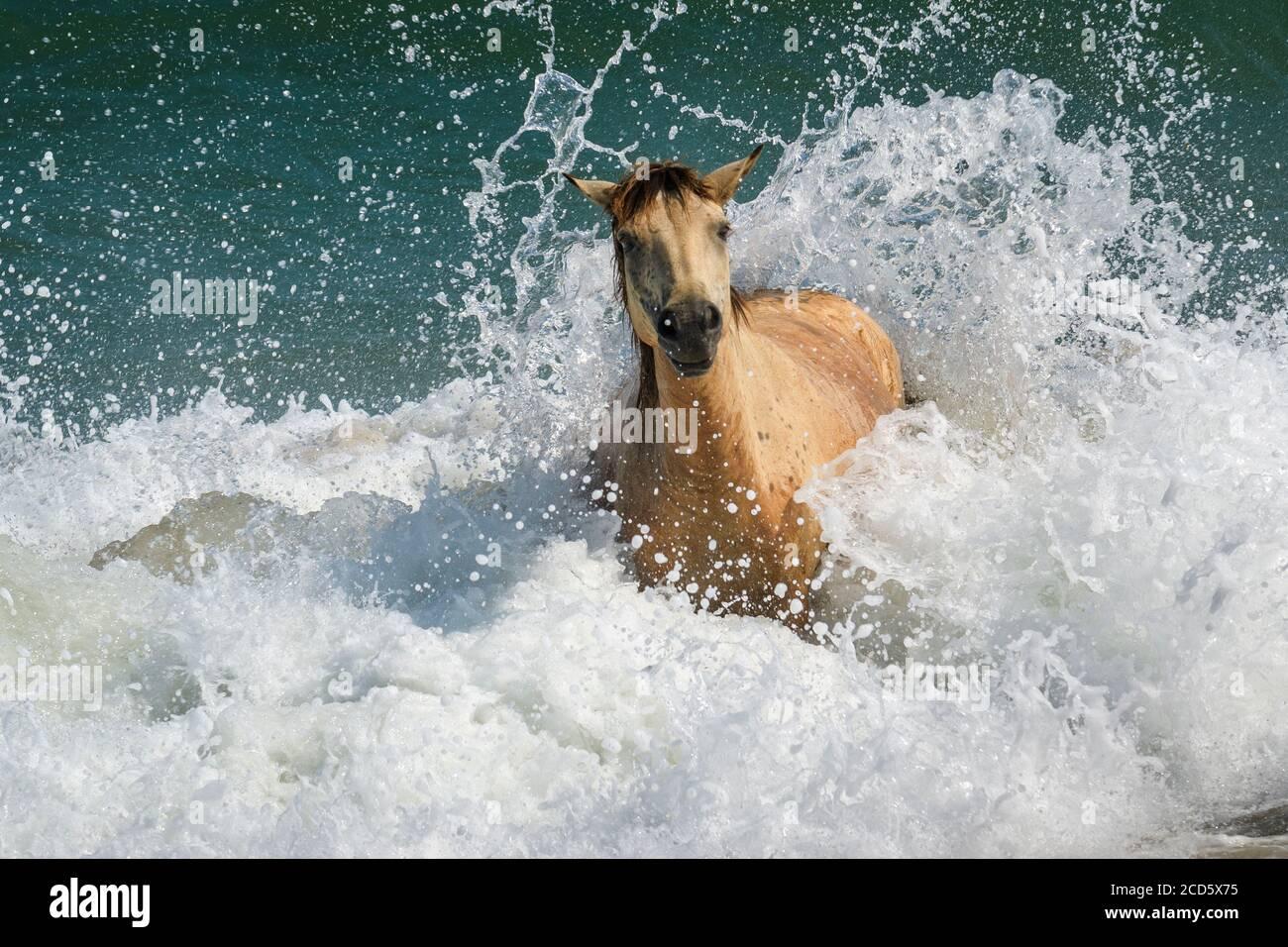 Wild Pony, Assateague Island National Seashore, Berlin, Maryland. Banque D'Images
