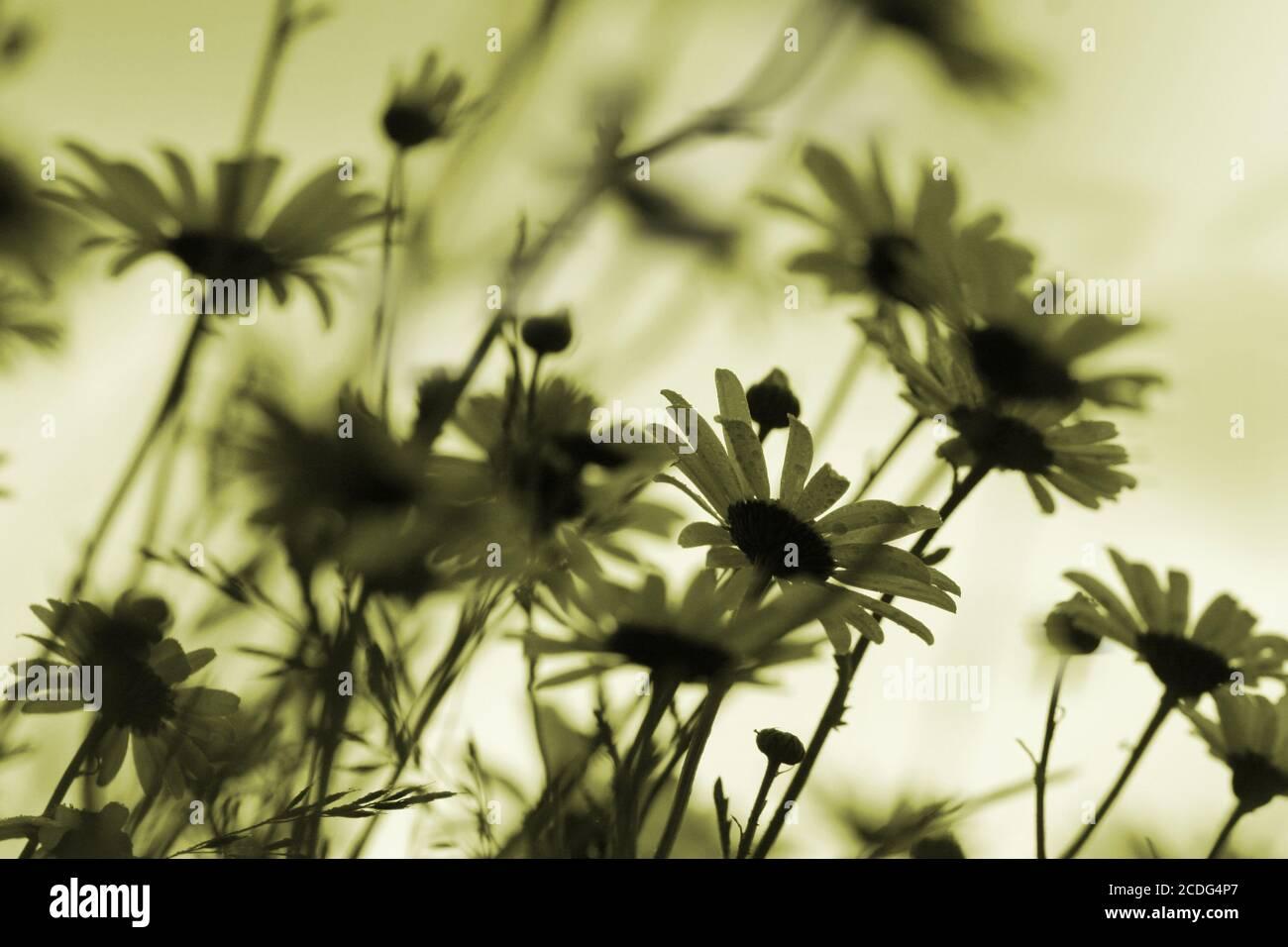 margeriten_silhouetten monochrome Banque D'Images