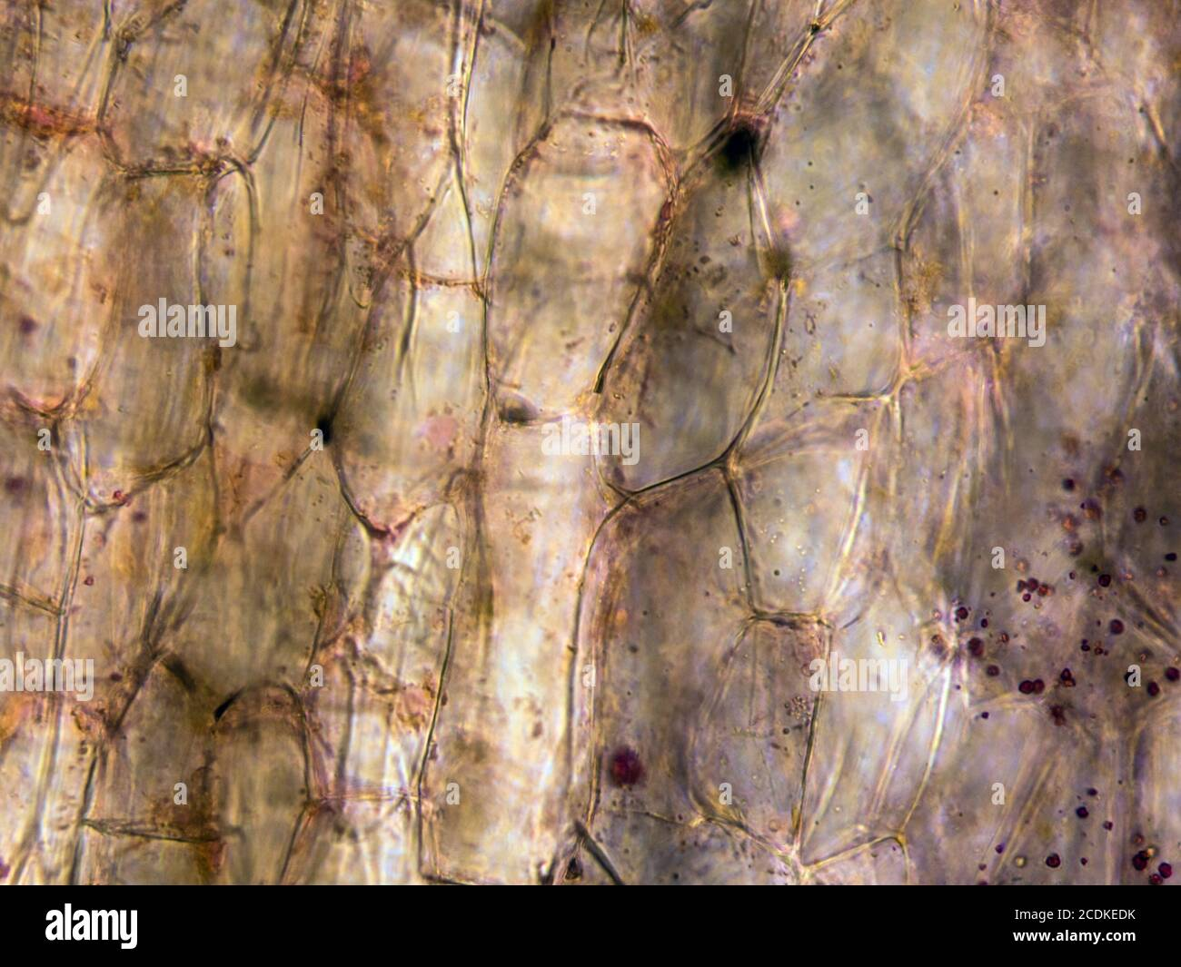 Vue microscopique des cellules racinaires de carottes. Coupe transversale. Microscope composé optique. Fond clair. Objectif 40x. Banque D'Images