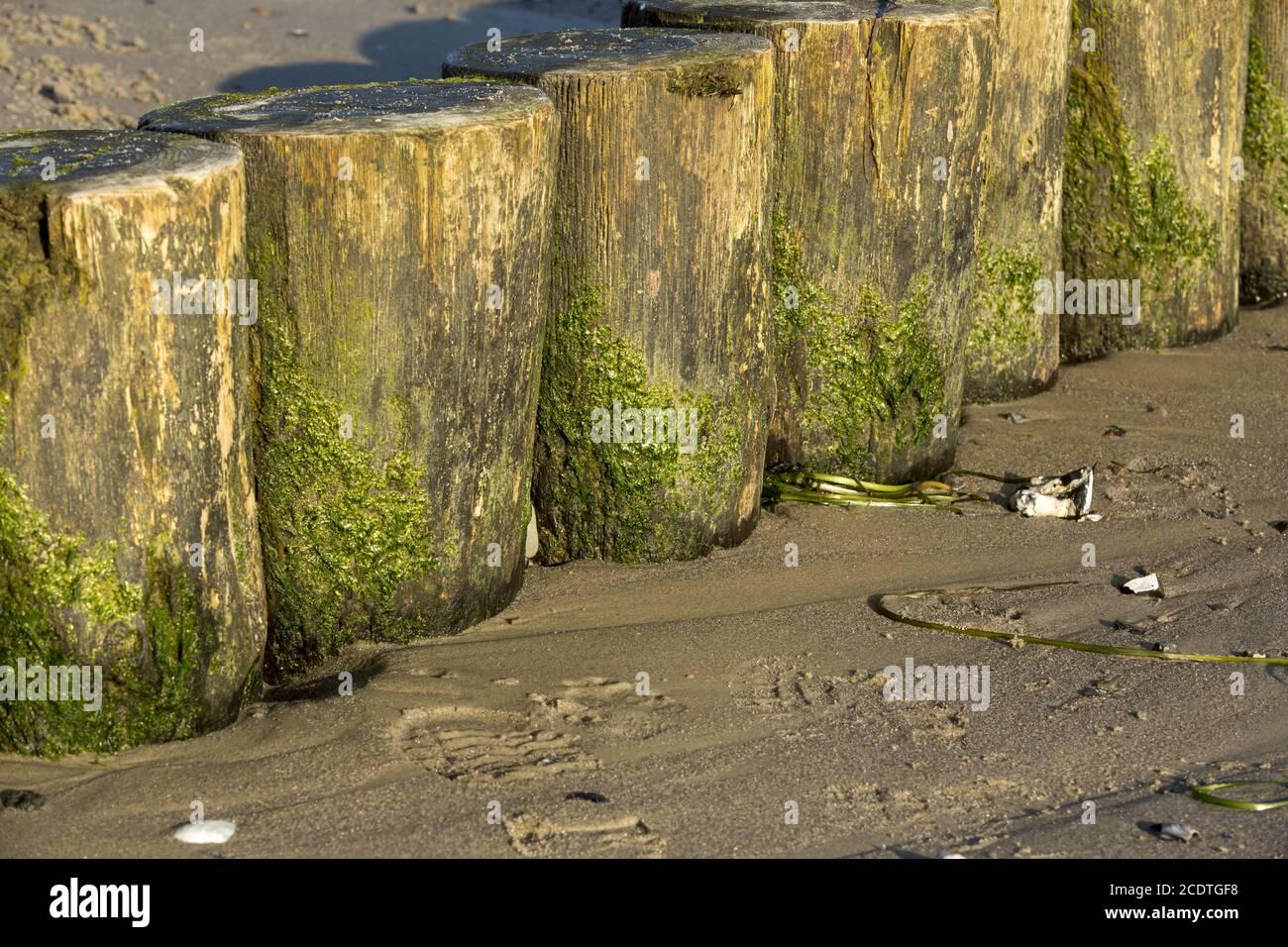 Gros plan des groynes sur la plage de sable avec algues vertes Banque D'Images