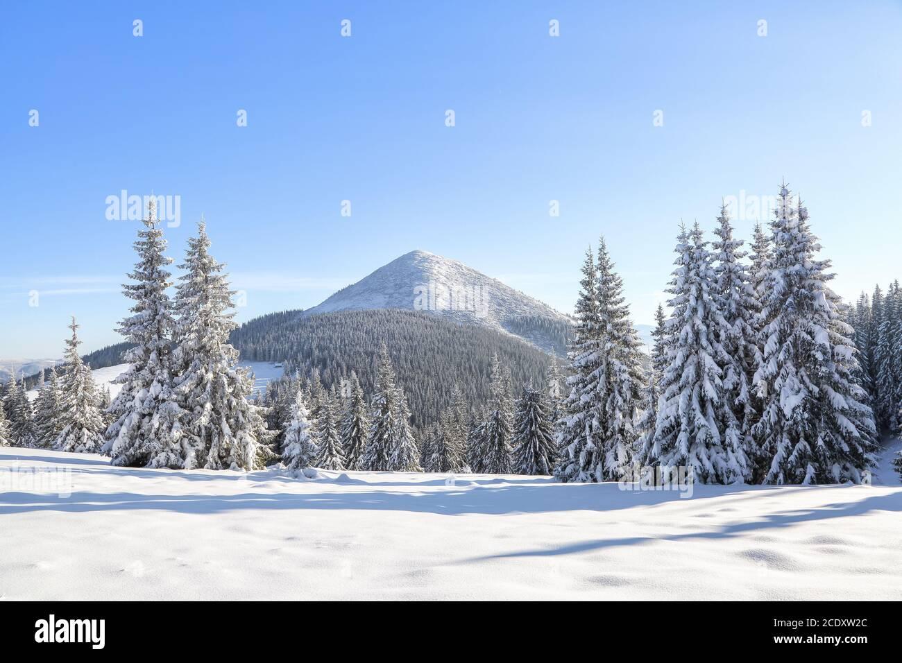 Paysage forêt d'hiver en temps froid ensoleillé. Les pins moelleux recouverts de neige blanche. Fond d'écran arrière-plan enneigé. Emplacement place Carpathian, Ukraine Banque D'Images