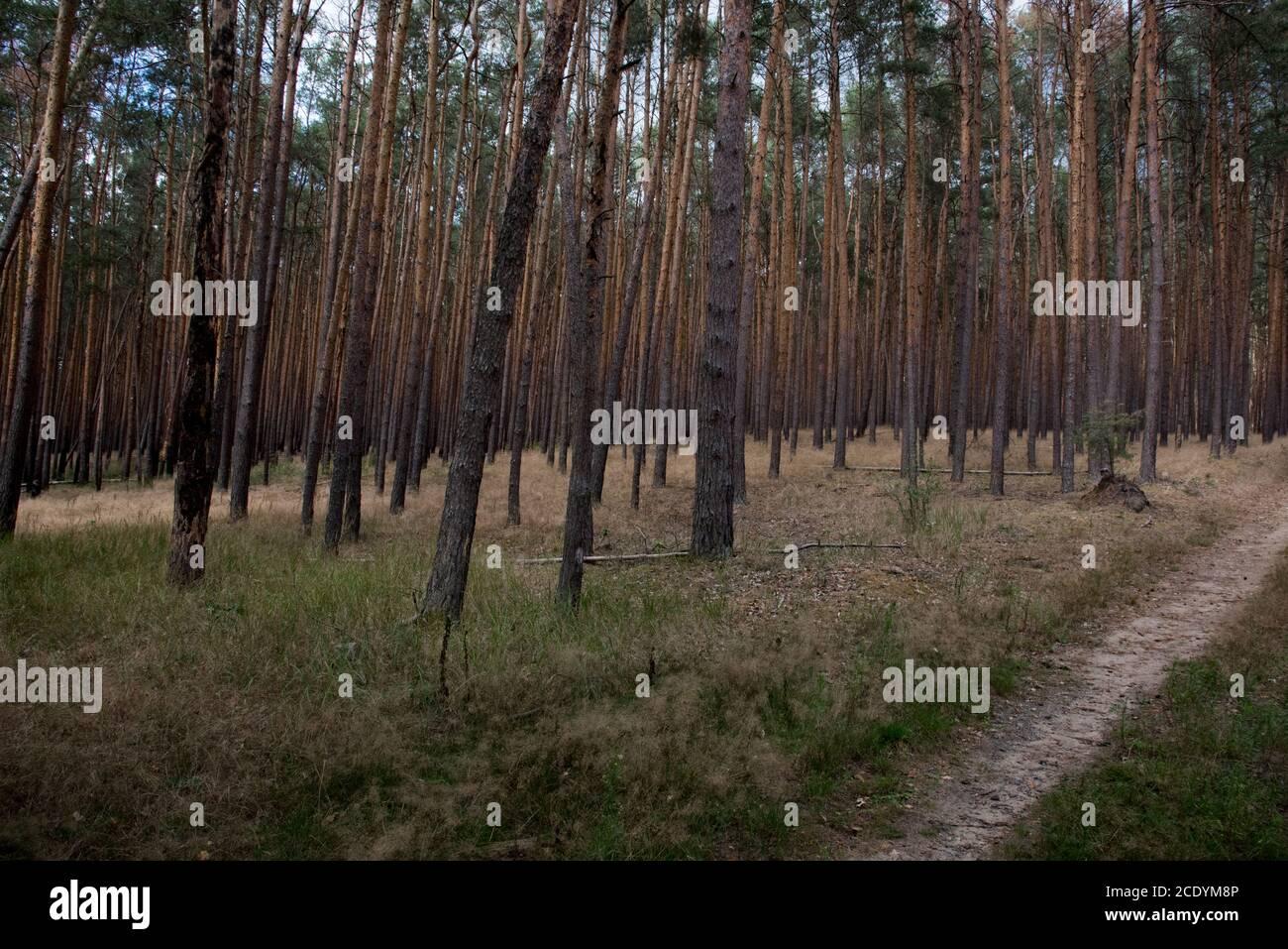 Deux ans après un énorme feu de forêt dans la forêt de Treuenbrietzen en août 2018, la forêt adjacente non brûlée semble prête à brûler. Banque D'Images